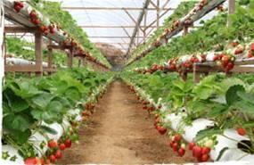 Выращивание земляника в домашних условиях
